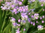 Photo Meadow rue description