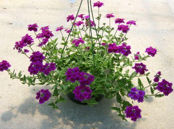 Have blomster verbena foto, voksende og beskrivelse, egenskaber og ...