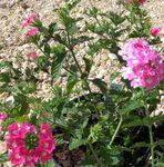Photo Verbena description
