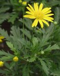 Photo L'oeil De Taureau, Buisson Marguerite, African-Brousse Marguerite, Paris Marguerite, Or Daisy Bush la description