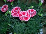 Photo Dianthus, China Pinks description