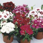 Photo Dianthus, Roses De Porcelaine la description
