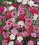 Photo Carnation description