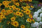 Photo Fausse Tournesol, Ox-Eye, Tournesol Heliopsis la description