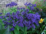 Photo Heliotrope, Cherry pie plant description