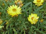 Photo Strawflowers, Papier Daisy la description