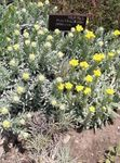 Photo Helichrysum Perrenial la description