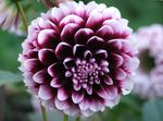 Photo Dahlia la description
