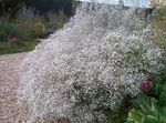 Photo Gypsophile la description