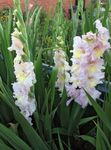 Photo Gladiolus description