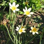Photo Cap Tulipe la description