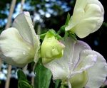 Photo Sweet Pea description