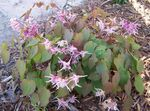Photo Epimedium Longspur, Barrenwort la description