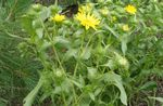 Photo Bouclés Tasse Grindelia la description
