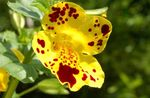 Photo Monkey Flower la description
