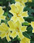 Photo Monkeyflower Collante la description