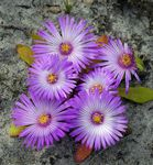 Photo Livingstone Daisy la description