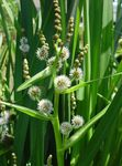 Photo Exotic Bur Reed description