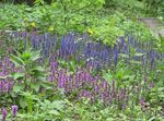 Photo Bugle, Bugleweed la description