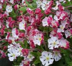 Photo Zaluzianskya, Night Phlox description