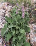 Photo Phlomis la description