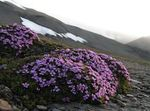 Photo Moss Campion description