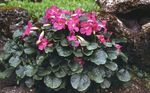 Photo Incarvillea, Dwarf Hardy Gloxinia description