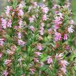 Photo Hyssop description