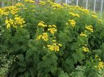 Photo Curled Tansy, Curly Tansy, Double Tansy, Fern-leaf Tansy, Fernleaf Golden Buttons, Silver Tansy description