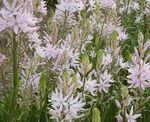 Photo Camassia description