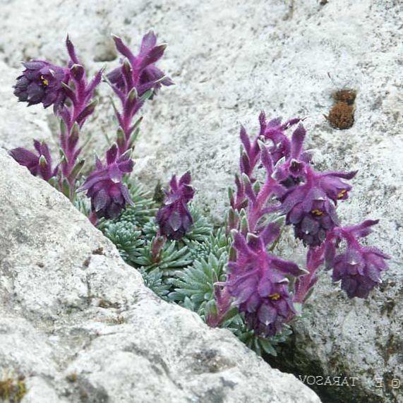 Have blomster saxifraga foto, voksende og beskrivelse, egenskaber ...