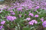 Photo Sand Verbena description
