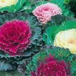 Photo Flowering Cabbage, Ornamental Kale, Collard, Curly kale description
