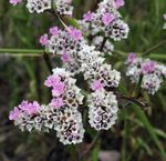 Photo Carolina Sea Lavender description