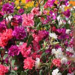Photo Clarkia, Garland Flower, Mountain Garland description