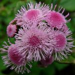 pink Floss Flower, Ageratum houstonianum Photo