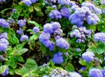 light blue Floss Flower, Ageratum houstonianum Photo