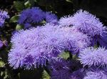 lilac Floss Flower, Ageratum houstonianum Photo