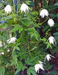 Photo Atragene, Small-flowered Clematis description