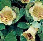 Photo Cathedral Bells, Cup and saucer plant, Cup and saucer vine description