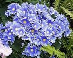 Photo Florist's Cineraria description