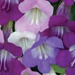 lilac Garden Flowers Twining Snapdragon, Creeping Gloxinia, Asarina Photo