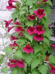 red Garden Flowers Twining Snapdragon, Creeping Gloxinia, Asarina Photo
