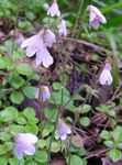 Photo Twinflower la description