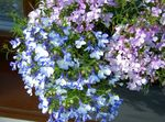 Photo Edging Lobelia, Annual Lobelia, Trailing Lobelia description