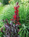Photo Cardinal flower, Mexican lobelia description