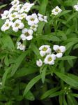 Photo Sweet Alyssum, Sweet Alison, Seaside Lobularia description