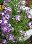 Photo Alyssum Doux, Alison Doux, Lobularia Balnéaire la description