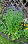 Photo Agastache, Hybrid Anise Hyssop, Mexican Mint description