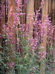 Photo Agastache, Hybride Anis Hysope, La Menthe Mexicain la description